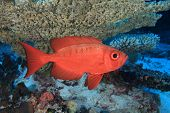 pic of bigeye  - Bigeye perch in the tropical coral reef - JPG