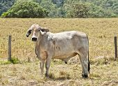 picture of zebu  - Young grey brahma cow on beef cattle ranch near barbed wire fence with pasture background - JPG