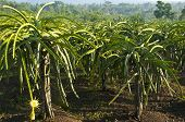 picture of ceres  - Dragon fruit plantation in Central Java - JPG