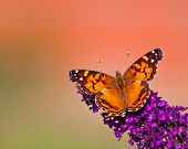 stock photo of butterfly-bush  - American Lady  - JPG