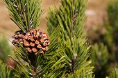stock photo of pinus  - Branch of Pinus mugo in the mountains - JPG