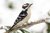 pic of woodpecker  - Downy Woodpecker  - JPG