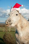 picture of horse wearing santa hat  - Grey horse wearing a Christmas hat with hay hanging from his mouth - JPG
