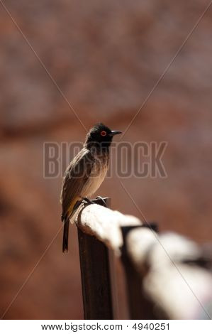 African Red-eyed Bulbul (pycnonotus Nigricans)