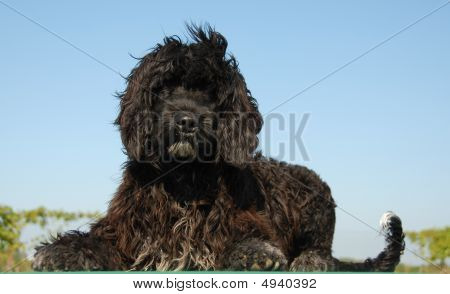 Puppy Portuguese Water Dog