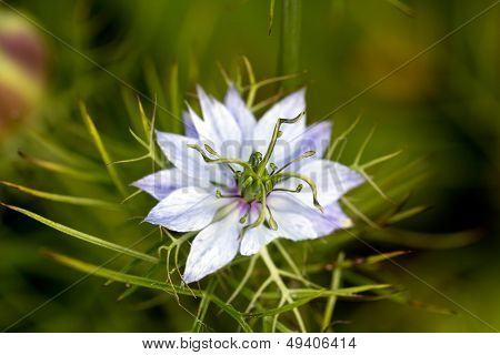 pasque flower, Pulsatilla patens. Pasqueflowers (Pulsatilla patens) on the field with grass. pasque