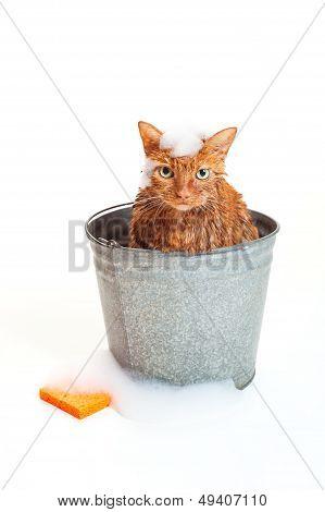 Orange Cat In A Bucket Getting A Bath