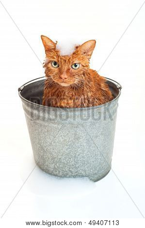 Orange Cat in a Bucket Getting a Bath