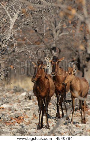 Three Red Hartebeest
