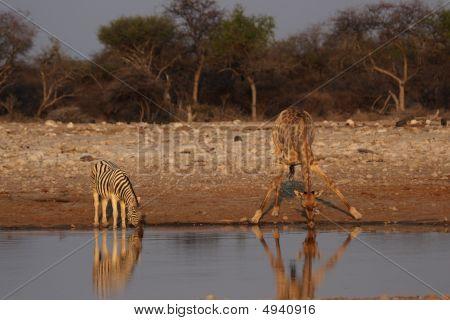 Girafa e Zebra da planície