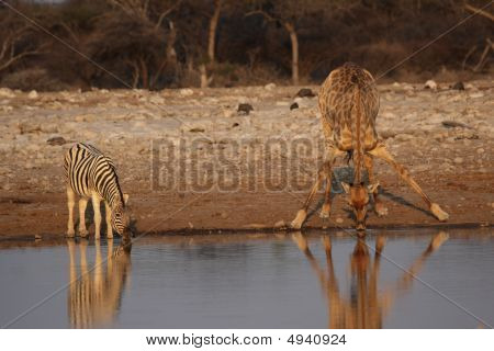Giraffe And Plains Zebra