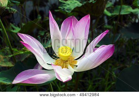Ripening Lotus.