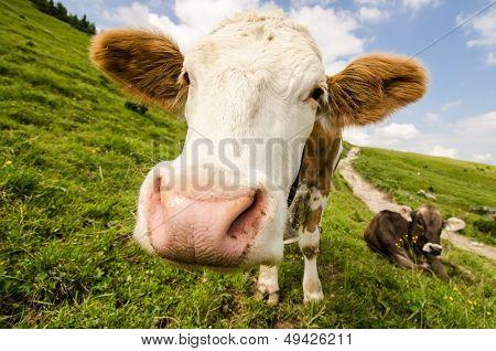 Cattle On An Alp