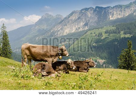 Pastoral Economy With Cattles On A Pasture