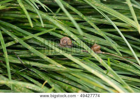 Garden Snails With Operculums Sliding On Grasses After Rain