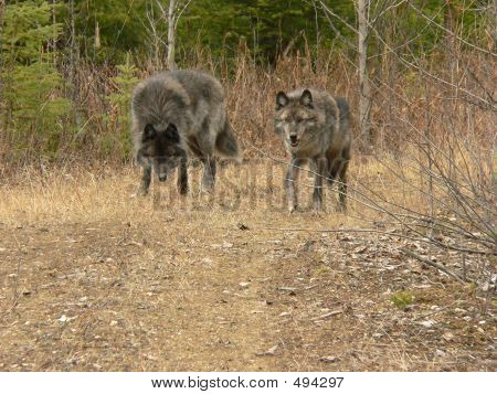 Gray Wolf Pair Walking