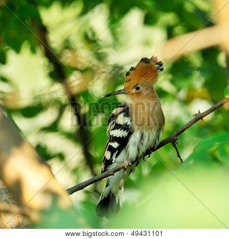 hoopoe bird in the tree