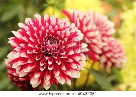 Beautiful Red & White Dahlia Flower On Green Yellow Backdrop