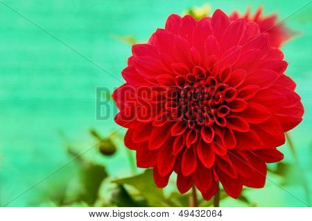 Dazzling Red Dahlia Daisy Flower With Beautiful Petals