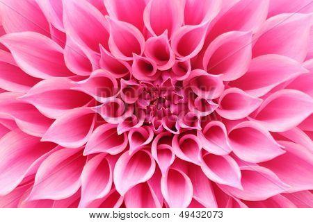 Abstract Closeup(macro) Of Pink Dahlia Flower With Beautiful Petals