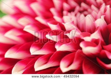 Abstract Photo Of Pink Dahlia Flower  Closeup(macro).