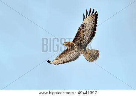 sparrow hawk in flight (accipiter nisus)