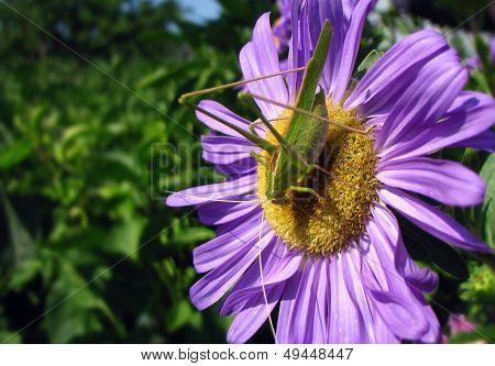 Tettigonia viridissima