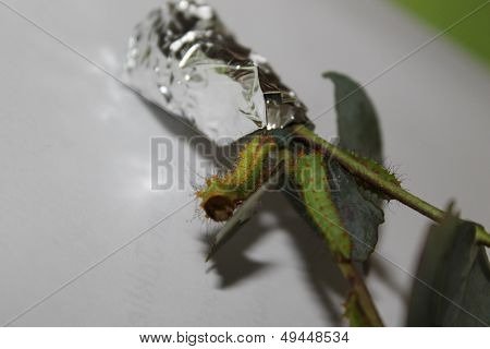 antheraea pernyi caterpillar