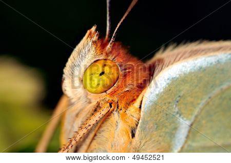 butterfly close-up portrait  (argynnis pandora)