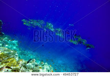 underwater image of tropical fishes (yellow boxfish - ostracion cubicus)