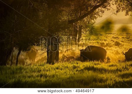 Buffalo Herd Grazing At Dawn In The Tetons