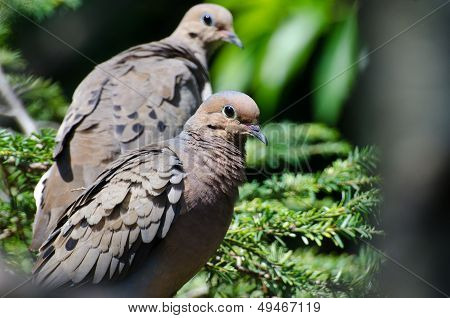 Mourning Dove With Ruffled Feathers