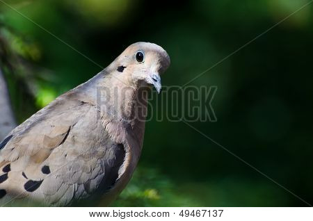 Mourning Dove Profile