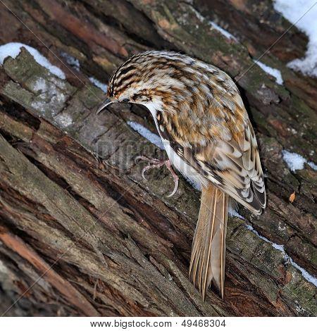 small bird outdoor (certhia familiaris)