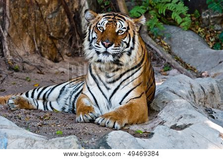 Female Wild Tiger From Thailand