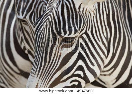 Grevys Zebra Face Abstract
