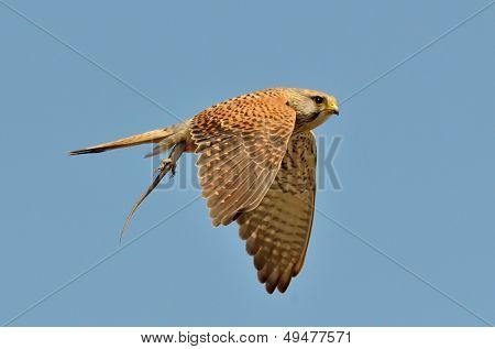 common kestrel holding its prey (falco tinnunculus)
