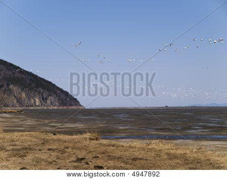 Group Goose Bird Migrating