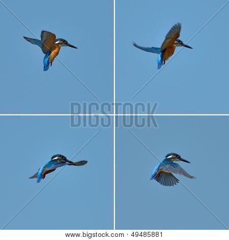 kingfisher in flight (alcedo atthis)