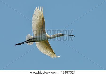 spoonbill flying (Platalea leucorodia)