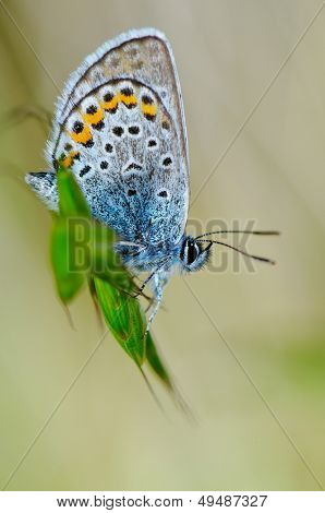 butterfly in natural habitat (plebejus argus)