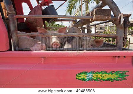 Doomed Pigs