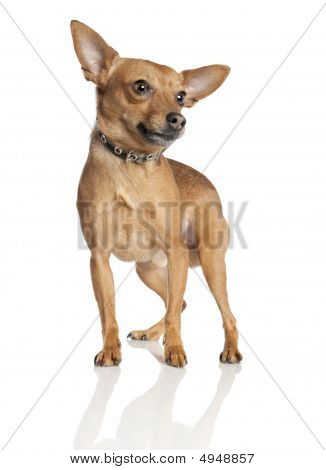 Miniature Pinscher (5 Years Old)