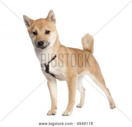 Shiba Inu Puppy (4 Months Old)