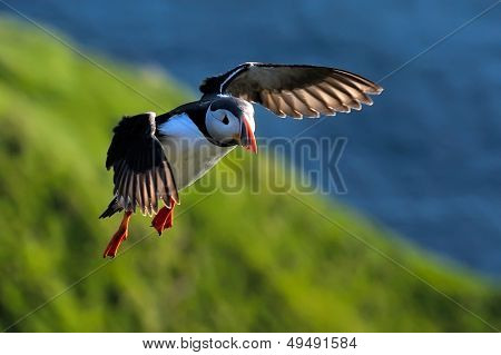 puffin flying (fratercula arctica)