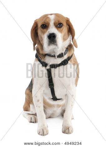 Beagle (2 Years Old)
