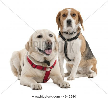 Couple Of A Beagle And A Labrador (4 And 2 Years Old)
