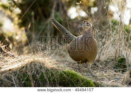 The Hen Pheasant (Phasianus Colchicus)