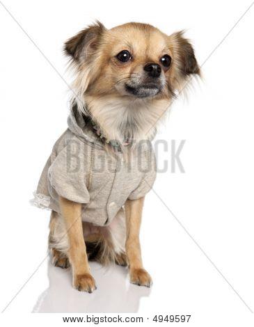 Chihuahua de pêlo longo (2 anos velho)