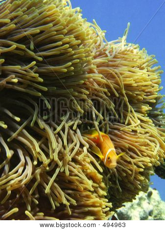 Anemona And Clown Fish